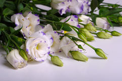 Eustoma Stock Image