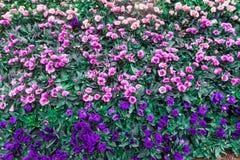 Eustoma grandiflorum kwitnie jak róże, ale ja jest bukietem kwiaty Nie pojedynczy kwiat jak róża fotografia stock