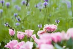 Eustoma grandiflorum kwitnie jak róże, ale ja jest bukietem kwiaty Nie pojedynczy kwiat jak róża obrazy stock