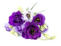 Eustoma grandiflorum Royalty Free Stock Image