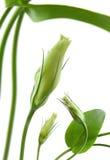Eustoma kwiat Zdjęcia Stock