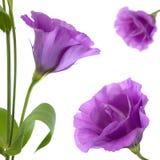 Eustoma kwiat Obrazy Stock
