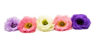 Eustoma kwiat odizolowywający obraz stock