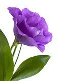 Eustoma kwiat Obrazy Royalty Free