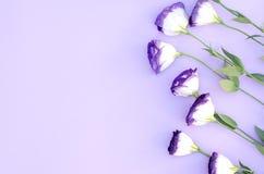 Eustoma na purpurowym tle zdjęcie stock