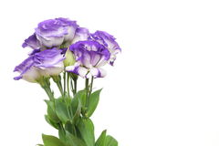 Eustoma Royalty Free Stock Photography