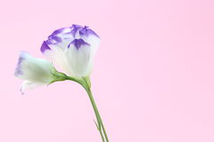 Eustoma in a pink background Royalty Free Stock Image