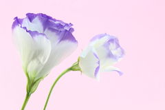 Eustoma in a pink background Royalty Free Stock Photos
