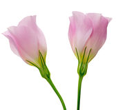 Eustoma in a white background Stock Image