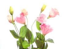 Eustoma in a white background Royalty Free Stock Images