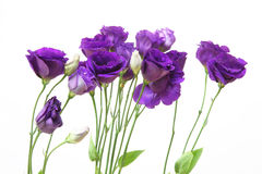 Eustoma in a white background Stock Images