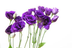 Eustoma in a white background. Stock Images