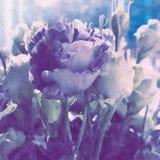 Eustomablumen abgetönt durch eine lila Steigung und für ein Ölmuster stilisiert stockfotografie