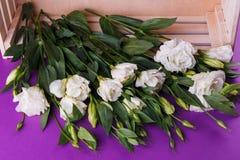 Eustoms белой розы на фиолетовой предпосылке около ящика над взглядом Стоковое Изображение
