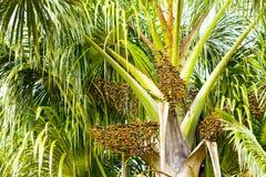 Euterpe δέντρο Oleracea με τους σπόρους Στοκ εικόνα με δικαίωμα ελεύθερης χρήσης