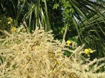 Euterpe Oleracea, Acai-Palme, die im hellen Sonnenlicht in der Hafen-Orange, FL blüht Lizenzfreie Stockfotografie