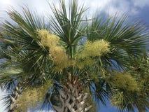 Euterpe Oleracea, Acai-Palme, die im hellen Sonnenlicht in der Hafen-Orange, FL blüht Lizenzfreies Stockbild