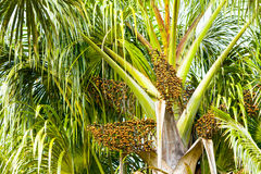 Euterpe Oleracea-Baum mit Samen Lizenzfreies Stockbild