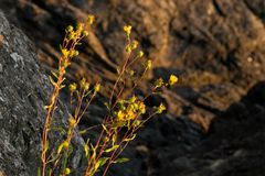Euthamia occidentalis Western Goldenrod Yellow flowers with rocks in the background at sunset in San Juan Islands royalty free stock photo