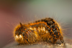 Euthrix potatoria Stock Photo