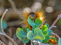 Eutricha capensis (przylądek fałda) Fotografia Stock