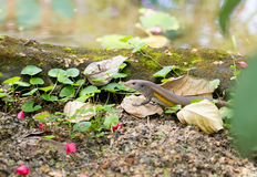 Eutropis multifasciatabalinensis (Bali Skink) royaltyfri fotografi
