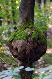 Eutypella-Krebsgeschwür der Sykomore (Acer-pseudoplatanus) Lizenzfreies Stockbild