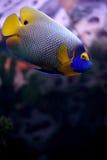 euxiphipops τροπικό xanthometapon ψαριών Στοκ φωτογραφίες με δικαίωμα ελεύθερης χρήσης