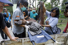 Evacuate Orangutan Royalty Free Stock Image
