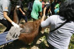 Evacuate Orangutan Royalty Free Stock Images