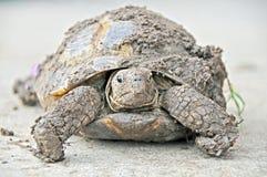 Eval błotnisty pudełkowaty żółw Obrazy Stock