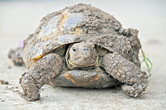 Eval the muddy box turtle. Loves to hide in the soil Stock Images