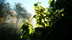 Evaporation of the bushes in the morning, the leaves glow in the sun. Steam on a tree