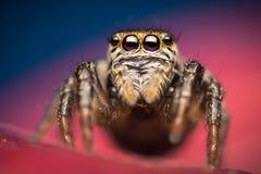 Evarcha arcuata跳跃的蜘蛛 库存图片
