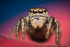 Evarcha arcuata jumping spider. Extreme closeup of Evarcha arcuata female jumping spider, from Salticidae family of spiders, with high reflection in her eyes Stock Image