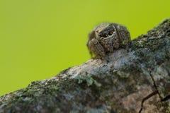 Evarcha arcuata Jumping Spider Macro Shot Royalty Free Stock Photography