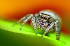 Evarcha falcata female jumping spider close up Royalty Free Stock Photo
