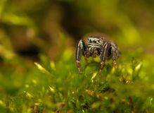 Evarcha - Jumping spider Stock Photos