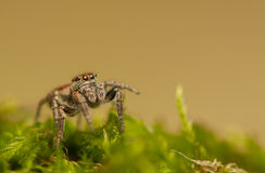 Evarcha - Jumping spider Royalty Free Stock Images