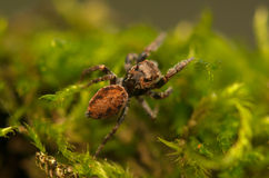 Evarcha - Jumping spider Royalty Free Stock Image