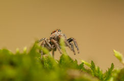 Evarcha - Jumping spider Royalty Free Stock Photography