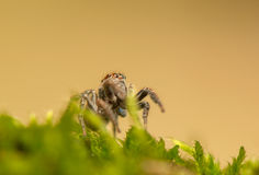 Evarcha - Jumping spider Stock Image