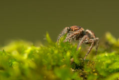 Evarcha - Jumping spider Stock Photography