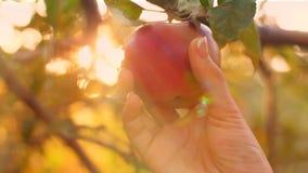 Eve Pick Apple stock footage