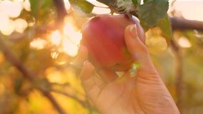 Eve Pick an Apple. Eve picking knowledge apple at eden stock footage