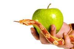 Eve temptation. By snake with apple Royalty Free Stock Images