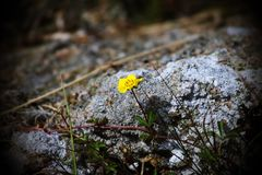 Even in the darkest times, life can still grow. A little flower besides a rock Stock Image