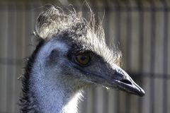 Even Emus Have Bad Hair Days stock photo