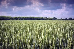 Even field of spikelets of wheat against the sky. Perfect plant similarity stock photography