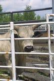 Bulls at Cameron Rodeo 2018 stock images